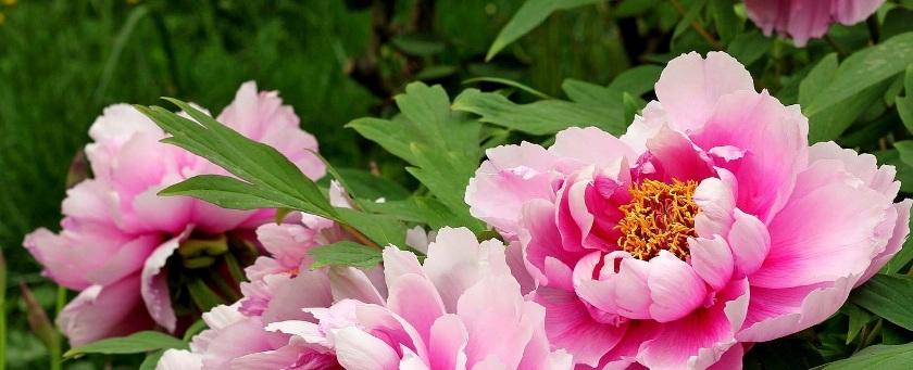 Şakayık Çiçeği