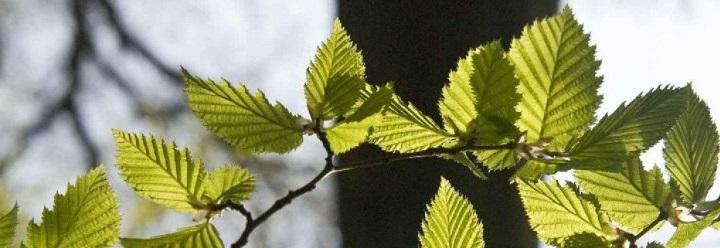 Geniş yapraklı ağaçları budama