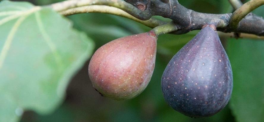 istanbulda yetişen incir ağaçları
