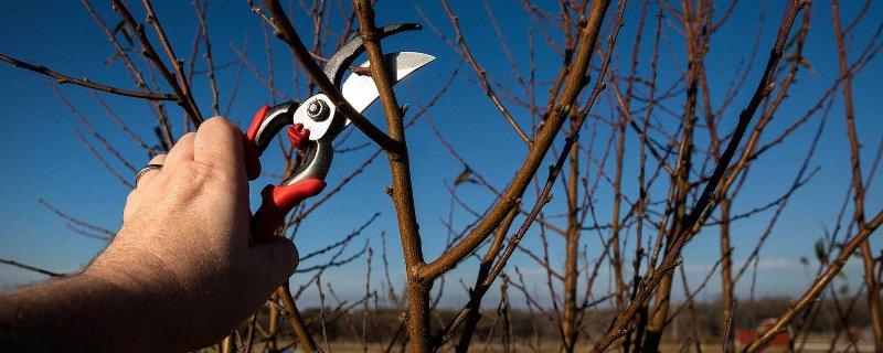 meyve ağaçları budama zamanı