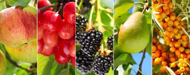 meyve ağacı nasıl budanmalıdır