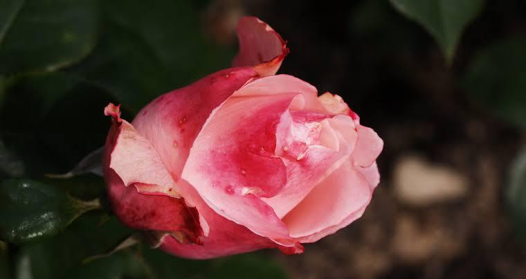 Türkiye'de yetişen güller