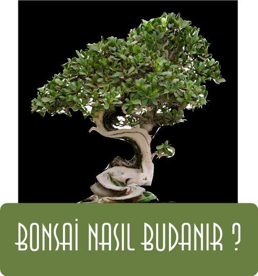 bonsai nasıl budanır, bonsai budama