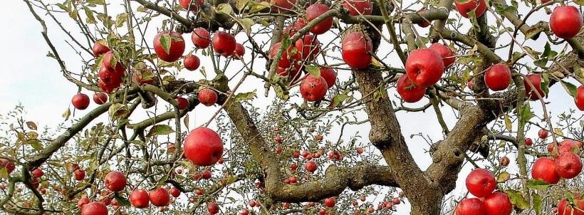 Elma Ağacı Budama