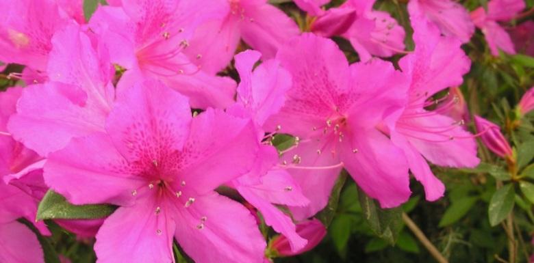 Evde Bahçede Açelya Çiçeği
