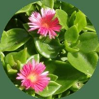 Dış mekan bitki türü yer örtücüler
