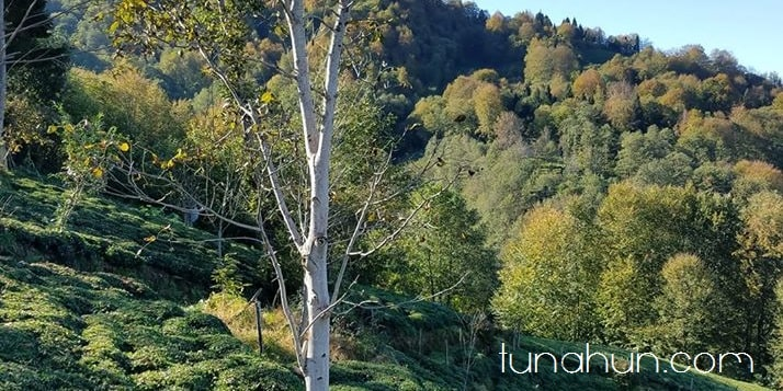 Adana ağaç türleri