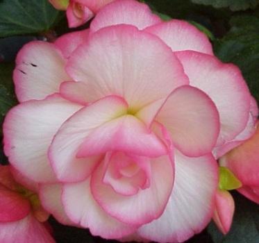 Begonya Çiçeği Özellikleri