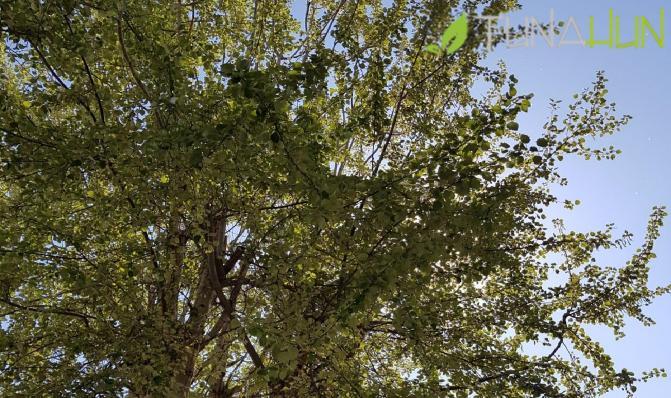 Kavak Ağacı Budama