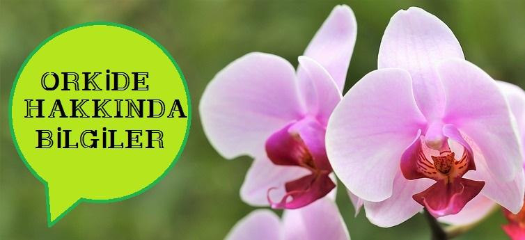 Orkide Çiçeği Nasıl Bakılır