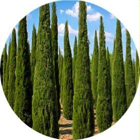 leylandi ağacı budama